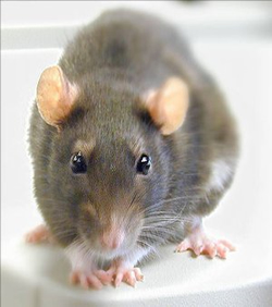 MALE MOUSE CAN TRACK SIGNALS WITH STEROIDS