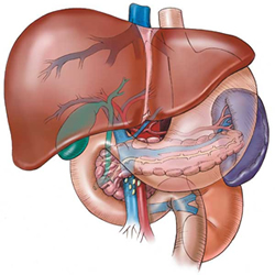Liver protection for steroid users