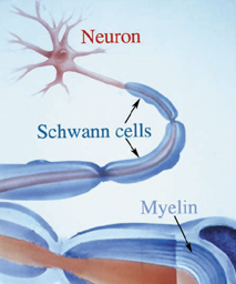 Steroids Increase Myelin Synthesis