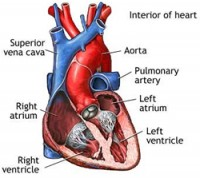 Effects of Anabolic steroids to your heart