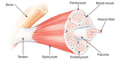 Muscle get protected by natural hormone against atrophy